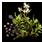 семена азалии