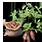 семена батата