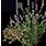 семена медовой травы
