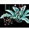 семена огненночешуйчатых цветов
