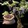 семена винограда